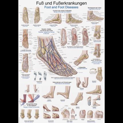 Lehrtafel: Fuß und Fußerkrankungen 70 x 100cm